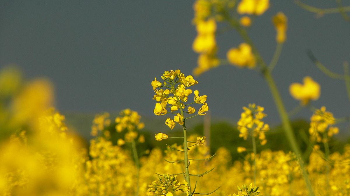 Mustard Blossom -03